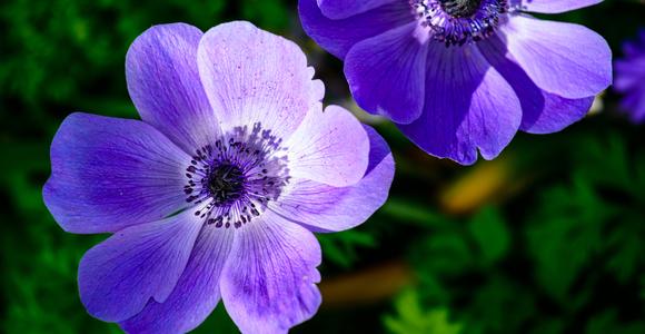 Анемона, цвет жељан игре