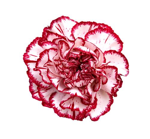 Каранфил, цвет угледа и страсне љубави